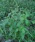 (Ocimum - DNAFR000836)  @11 [ ] Copyrights (2014) Gujarat Biodiversity Gene Bank, GSBTM, DST, GoG Gujarat Biodiversity Gene Bank, GSBTM, DST, GoG