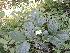 (Ziziphus horrida - DNAFR000869)  @11 [ ] Copyrights (2014) Gujarat Biodiversity Gene Bank, GSBTM, DST, GoG Gujarat Biodiversity Gene Bank, GSBTM, DST, GoG