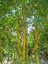 (Bambusoideae - DNAFR000273)  @11 [ ] Copyright (2014) Gujarat Biodiversity Gene Bank, GSBTM, DST, GoG Gujarat Biodiversity Gene Bank, GSBTM, DST, GoG