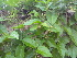 (Tylophora - DNAFR000291)  @11 [ ] Copyright (2014) Gujarat Biodiversity Gene Bank, GSBTM, DST, GoG Gujarat Biodiversity Gene Bank, GSBTM, DST, GoG