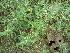 (Alternanthera sessilis - DNAFR000295)  @11 [ ] Copyright (2014) Gujarat Biodiversity Gene Bank, GSBTM, DST, GoG Gujarat Biodiversity Gene Bank, GSBTM, DST, GoG