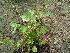 (Amaranthus tricolor - DNAFR000296)  @11 [ ] Copyright (2014) Gujarat Biodiversity Gene Bank, GSBTM, DST, GoG Gujarat Biodiversity Gene Bank, GSBTM, DST, GoG