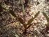 (Opuntia elatior - DNAFR000298)  @11 [ ] Copyright (2014) Gujarat Biodiversity Gene Bank, GSBTM, DST, GoG Gujarat Biodiversity Gene Bank, GSBTM, DST, GoG
