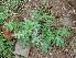 (Solanum virginianum - DNAFR000230)  @11 [ ] Copyright (2014) Gujarat Biodiversity Gene Bank, GSBTM, DST, GoG Gujarat Biodiversity Gene Bank, GSBTM, DST, GoG