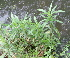 (Hygrophila - DNAFR000240)  @11 [ ] Copyright (2014) Gujarat Biodiversity Gene Bank, GSBTM, DST, GoG Gujarat Biodiversity Gene Bank, GSBTM, DST, GoG