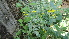 (Lindenbergia - DNAFR000573)  @11 [ ] Copyright (2014) Gujarat Biodiversity Gene Bank, GSBTM, DST, GoG Gujarat Biodiversity Gene Bank, GSBTM, DST, GoG
