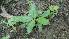 (Ochreinauclea - DNAFR000590)  @11 [ ] Copyright (2014) Gujarat Biodiversity Gene Bank, GSBTM, DST, GoG Gujarat Biodiversity Gene Bank, GSBTM, DST, GoG