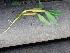 (Hygroryza - DNAFR000376)  @11 [ ] Copyright (2014) Gujarat Biodiversity Gene Bank, GSBTM, DST, GoG Gujarat Biodiversity Gene Bank, GSBTM, DST, GoG