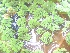 (Azolla pinnata - DNAFR000378)  @11 [ ] Copyright (2014) Gujarat Biodiversity Gene Bank, GSBTM, DST, GoG Gujarat Biodiversity Gene Bank, GSBTM, DST, GoG