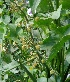 (Limnophyton - DNAFR000379)  @11 [ ] Copyright (2014) Gujarat Biodiversity Gene Bank, GSBTM, DST, GoG Gujarat Biodiversity Gene Bank, GSBTM, DST, GoG