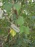 (Pergularia - DNAFR000657)  @11 [ ] Copyright (2014) Gujarat Biodiversity Gene Bank, GSBTM, DST, GoG Gujarat Biodiversity Gene Bank, GSBTM, DST, GoG