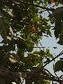 (Cordia - DNAFR000658)  @11 [ ] Copyright (2014) Gujarat Biodiversity Gene Bank, GSBTM, DST, GoG Gujarat Biodiversity Gene Bank, GSBTM, DST, GoG