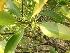 (Rhizophoraceae - DNAFR000663)  @11 [ ] Copyright (2014) Gujarat Biodiversity Gene Bank, GSBTM, DST, GoG Gujarat Biodiversity Gene Bank, GSBTM, DST, GoG