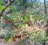(Mundulea - DNAFR000334)  @11 [ ] Copyright (2014) Gujarat Biodiversity Gene Bank, GSBTM, DST, GoG Gujarat Biodiversity Gene Bank, GSBTM, DST, GoG