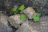 (Dioscorea bulbifera - DNAFR000429)  @11 [ ] Copyright (2014) Gujarat Biodiversity Gene Bank, GSBTM, DST, GoG Gujarat Biodiversity Gene Bank, GSBTM, DST, GoG