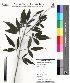 (Vitex negundo L - DNAFR000030)  @11 [ ] Copyright (2011) Gujarat Biodiversity Gene Bank Gujarat Biodiversity Gene Bank
