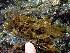 (Mastocarpus intermedius - GWS004099)  @14 [ ] CreativeCommons - Attribution Non-Commercial Share-Alike (2010) Unspecified University of New Brunswick