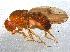 (Drosophila neoguaramunu - BIOUG12930-B01)  @11 [ ] CreativeCommons - Attribution Non-Commercial Share-Alike (2014) BIO Photography Group Biodiversity Institute of Ontario