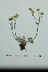 (Potentilla arenosa ssp chamissonis - ZA2012-1921)  @11 [ ] Copyright (2013) Tomas Roslin University of Helsinki
