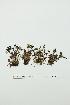 (Saxifraga hyperborea - ZA2012-2520)  @11 [ ] Copyright (2013) Tomas Roslin University of Helsinki