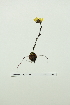 (Saxifraga platysepala - ZA2012-2563)  @11 [ ] Copyright (2013) Tomas Roslin University of Helsinki