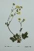 (Potentilla arenosa ssp arenosa - ZA2012-3921)  @11 [ ] Copyright (2013) Tomas Roslin University of Helsinki