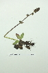 (Saxifraga hieracifolia - ZA2012-4769)  @11 [ ] Copyright (2013) Tomas Roslin University of Helsinki