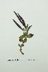(Epilobium latifolium - ZA2012-5059)  @11 [ ] Copyright (2013) Tomas Roslin University of Helsinki