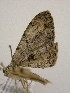( - BC ZSM Lep 03597)  @11 [ ] Copyright (2010) Unspecified Bavarian State Collection of Zoology (ZSM)