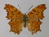 (Polygonia egea - BC ZSM Lep 30385)  @13 [ ] Copyright (2010) Unspecified Bavarian State Collection of Zoology (ZSM)