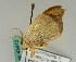 (Agnidra scabiosa - BC ZSM Lep 43413)  @12 [ ] Copyright (2010) Axel Hausmann Bavarian State Collection of Zoology (ZSM)