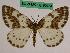 (Abraxas grossulariata notabilis - BC ZFMK Lep 00754)  @11 [ ] Copyright (2010) Dr. D. Stüning Zoological Research Museum Alexander Koenig