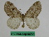 (Abraxas asemographa tatsienlua - BC ZFMK Lep 00769)  @11 [ ] Copyright (2010) Dr. D. Stüning Zoological Research Museum Alexander Koenig