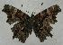 (Polygonia faunus - 612NK-JB957)  @14 [ ] Unspecified (default): All Rights Reserved  Unspecified Unspecified