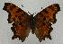 (Polygonia oreas - 612NK-JS3)  @14 [ ] Unspecified (default): All Rights Reserved  Unspecified Unspecified