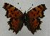 (Polygonia interposita - 760NK-SG4)  @14 [ ] Unspecified (default): All Rights Reserved  Unspecified Unspecified