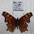 (Polygonia gracilis - 606NK-2920.1)  @14 [ ] Unspecified (default): All Rights Reserved  Unspecified Unspecified