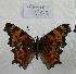 (Polygonia gracilis - 766NK-CG2)  @14 [ ] Unspecified (default): All Rights Reserved  Unspecified Unspecified
