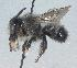 (Megachile melanophaea - Bee52)  @15 [ ] Copyright (2010) Unspecified Unspecified