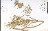 (Asclepias hirtella - 57819HIM)  @13 [ ] CreativeCommons - Attribution Non-Commercial Share-Alike (2012) University of Guelph, Canada OAC-BIO Herbarium