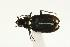 (Bembidion hastii - CHU06-COL1-550)  @13 [ ] Unspecified (default): All Rights Reserved  Unspecified Unspecified