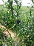 (Asclepias fruticosa - DMP015)  @12 [ ] CreativeCommons - Attribution Non-Commercial Share-Alike (2012) Mamadi Theresa Sethusa University of Johannesburg