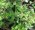 (Diospyros lycioides subsp guerkei - KMS-0210)  @11 [ ] CreativeCommons - Attribution Non-Commercial Share-Alike (2012) Mamadi Theresa Sethusa University of Johannesburg