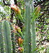  (Cereus jamacaru - KMS-0229)  @11 [ ] CreativeCommons - Attribution Non-Commercial Share-Alike (2012) Mamadi Theresa Sethusa University of Johannesburg