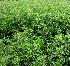 (Solanum pseudocapsicum - KMS-0261)  @11 [ ] CreativeCommons - Attribution Non-Commercial Share-Alike (2012) Mamadi Theresa Sethusa University of Johannesburg
