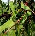(Eucalyptus melliodora - PPRI-0238)  @11 [ ] CreativeCommons - Attribution Non-Commercial Share-Alike (2012) Mamadi Theresa Sethusa University of Johannesburg