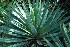 (Agave sisalana - RMK0026)  @11 [ ] No Rights Reserved  Unspecified Unspecified