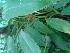 (Philodendron erubescens - Hosam00453)  @11 [ ] Copyright (2013) Dr. Hosam Elansary Alexandria University