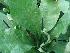 (Anthurium acaule - Hosam00441)  @11 [ ] Copyright (2013) Dr. Hosam Elansary Alexandria University