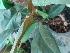 (Philodendron hederaceum - Hosam00455)  @11 [ ] Copyright (2013) Dr. Hosam Elansary Alexandria University